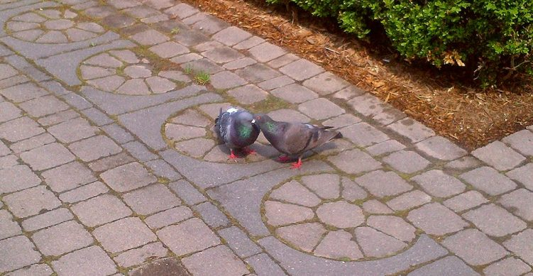 03 - PDA Pigeon Display of Affection - Toronto Public Labyrinth - Thursday May 26 2016