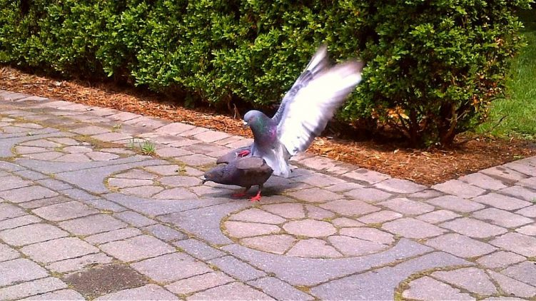 PDA Pigeon Display of Affection - Toronto Public Labyrinth - Thursday May 26 2016